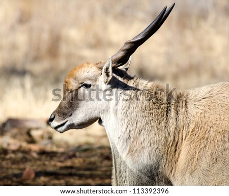 A male Eland buck in profile