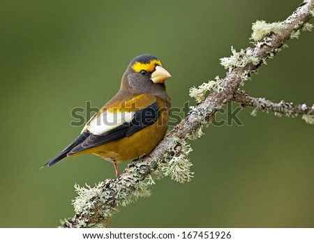 A male evening grosbeak displays the white patch on his wing as he perches on a moss-covered branch