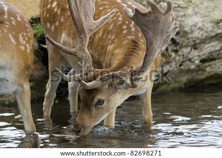 A male fallow deer stag drinking water from a stream. - stock photo