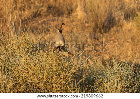 A male Gambel's Quail (Callipepla gambelii) in Southern Utah, USA, nearby Zion National Park. - stock photo
