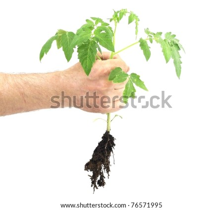 A male hand grasping a young tomato plant on a white background