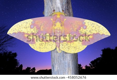 A male Imperial Moth (Eacles imperialis) under a starry night sky. - stock photo