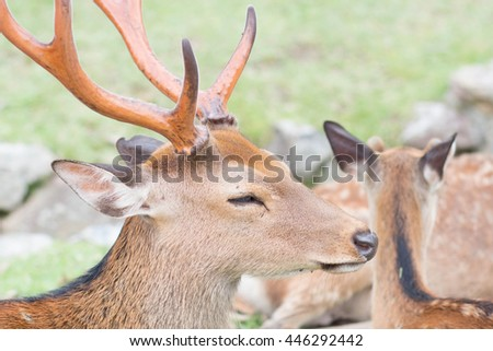 a male Japanese deer which is in front of other deer in Nara