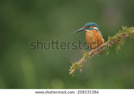 A male Kingfisher rests on a perch in between dives into the water below for food. - stock photo