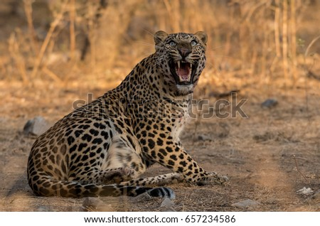 A male leopard of Jhalana Forest Area showing his anger over treepie.