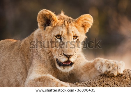 A male lion club (panthera leo) resting on a dirt bank. Observed on safari in South Africa, this juvenile has a tuft of fur that will become the mane. The lion is a member of the family Felidae.