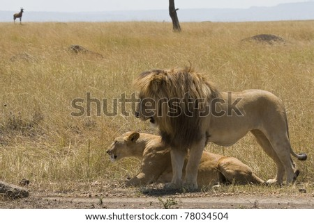 A male lion courts a female lioness on the plains of the Masai Mara. - stock photo