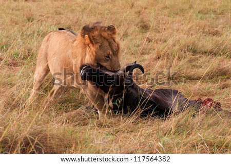 A male lion drags his kill in Masai Mara National Park - Kenya