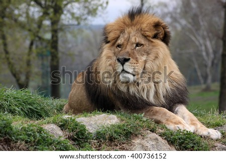 A male lion in a nature reserve resting on a hilltop attentive of something in the distance - stock photo