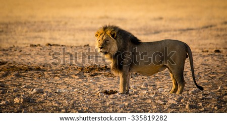 A male lion is whatching some zebras and is soon going for hunt.