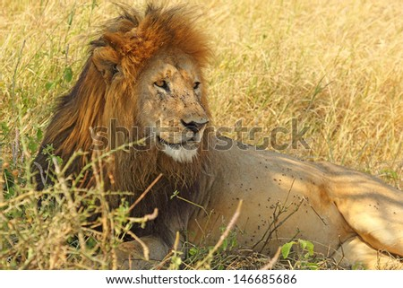 A male lion (Panthera Leo) lying in the shade - stock photo
