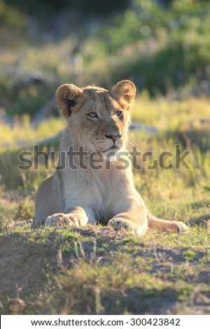 A male lion portrait. Golden sunlight ignite his intense eyes. South Africa.  - stock photo