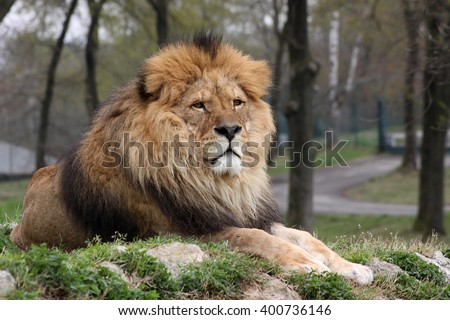 A male lion resting on a hilltop keeping an eye on its surroundings in a nature reserve - stock photo