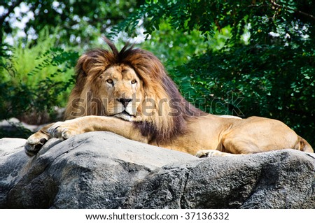 A male lion rests in the sun with greenery in the background - stock photo