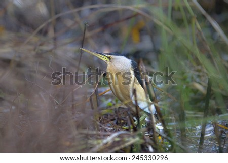 A male Little Bittern (Ixobrychus minutus) standing amongst marsh vegetation in a blurred natural setting, Andalusia, Spain - stock photo