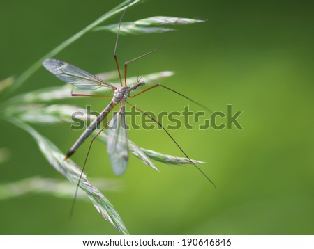 A male mosquito nematocera  is staying under the leaf on green background - stock photo