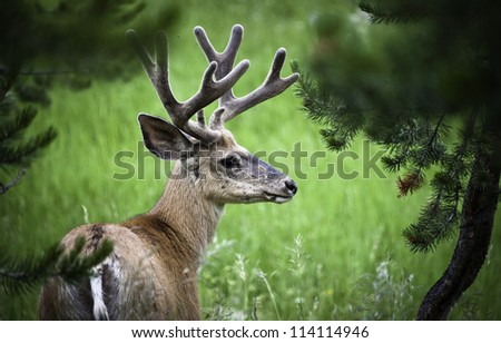 A male Mule Deer with velvet on his antlers casually poses for a photo. - stock photo