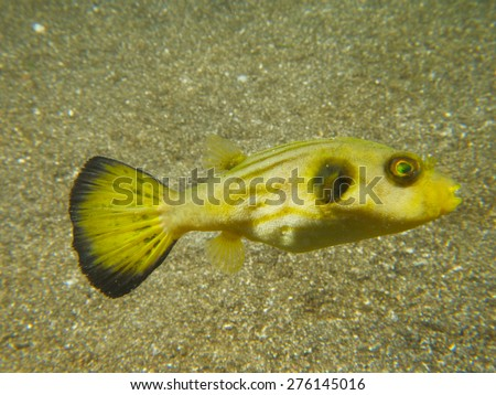 A male narrow-lined puffer displaying, one of many unusual critters encountered at Secret Bay, northern Bali. - stock photo