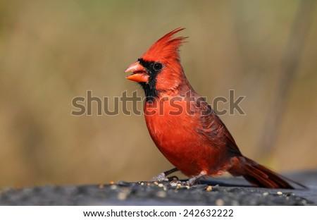 A male northern cardinal (Cardinalis cardinalis) feeding at a bird feeder.  Shot in Cambridge, Ontario, Canada.  - stock photo