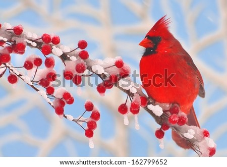 A male Northern Cardinal (Cardinalis cardinalis) on a snowy branch full of bright red berries. - stock photo