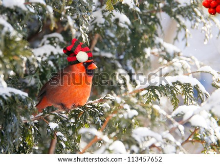 A male Northern Cardinal perched on a cedar hedge in the snow wearing his warm Christmas hat.