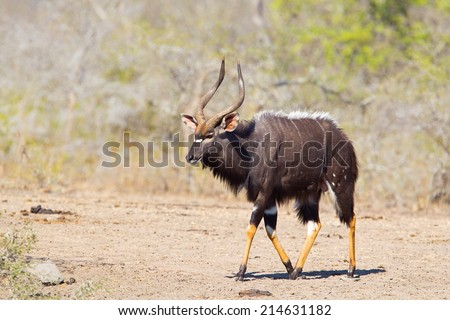 A male Nyala (Tragelaphus angasii) walking against a blurred natural background in Hluhluwe Game Reserve, South Africa - stock photo