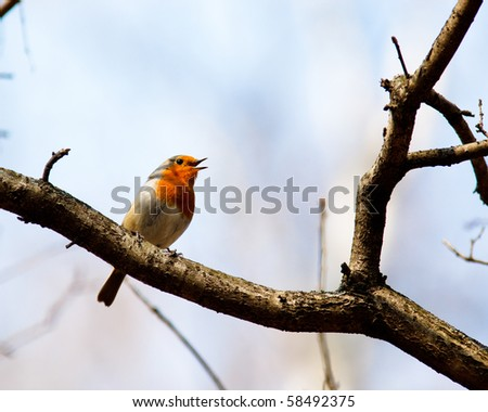 A male of a Robin, Erithacus rubecula, calling song.