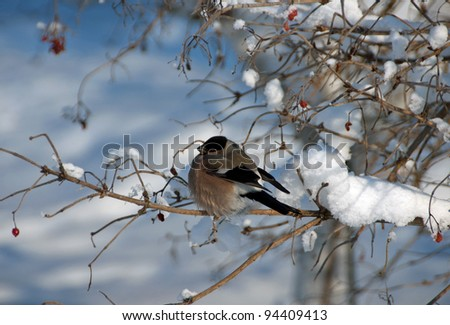 A male of bullfinch resting on a branch, in a winter scene - stock photo