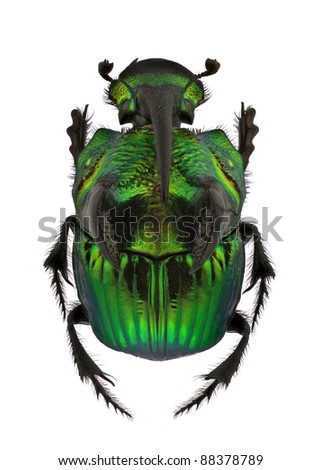 A Male of Phanaeus demon, Rainbow Scarabs, isolated on a white background - stock photo