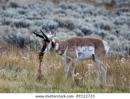 A male pronghorn antelope in sage grassland - stock photo