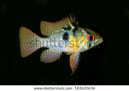 A Male Ram Butterfly Cichlid in an Aquarium Isolated on Black - stock photo