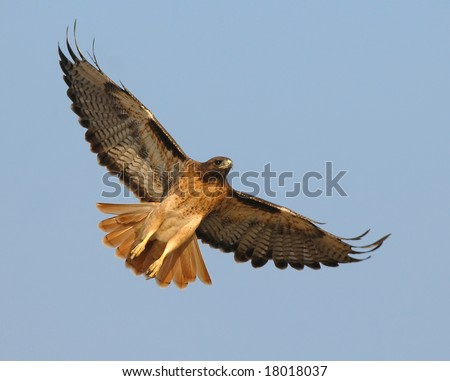 A male Red Tail Hawk begins to soar above a field in Southern California searching for it's next meal. - stock photo