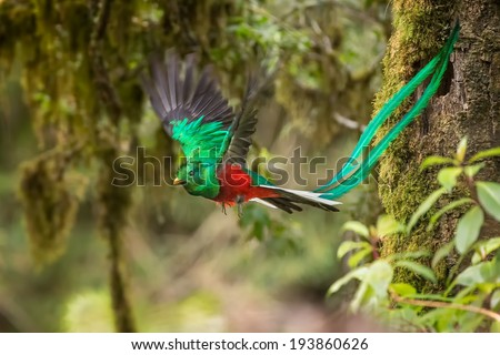 A male Resplendent Quetzal in flight pose - stock photo
