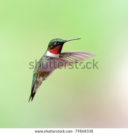 A male Ruby-throated Hummingbird hovering with a green background. - stock photo