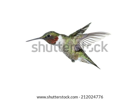 A male ruby-throated hummingbird on white - stock photo