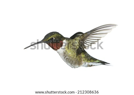 A male ruby-throated hummingbird on white. - stock photo
