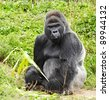 A male silver back gorilla sitting holding a piece of vegetation - stock photo