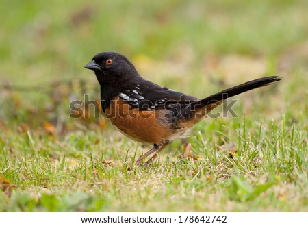 A male spotted towhee feeds on the ground, always alert for predators. - stock photo