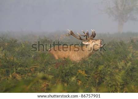 A male stag deer bellowing in the bracken during the deer rut in Bushy Park in London. Taken early morning on a very misty day. - stock photo