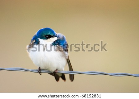 A male Tree Swallow perched on wire fence in Montana. - stock photo