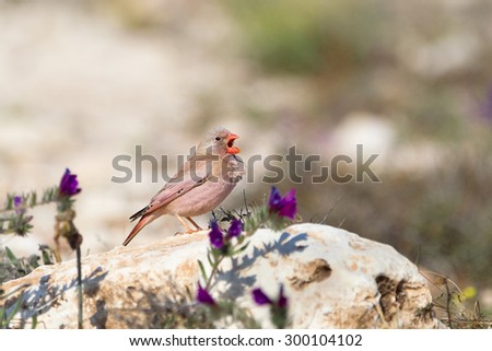 A male Trumpeter Finch (Bucanetes githagineus) singing on a rock, amongst semi-desert vegetation, against a blurred natural background, Andalusia, Spain - stock photo