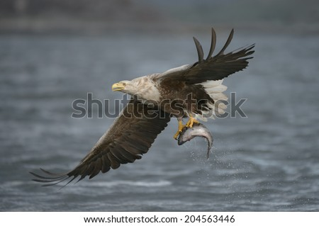 A male White-tailed eagle carrying a very large Coalfish which he has just caught. - stock photo