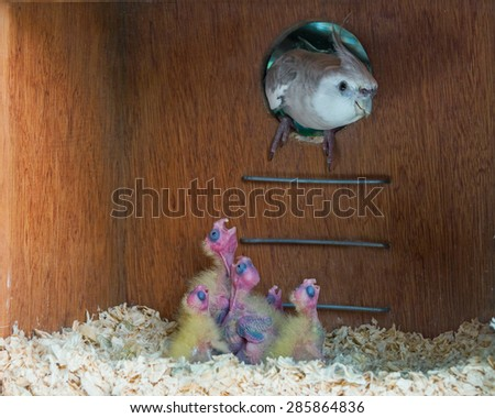 A male whiteface cockatiel entering its nest to feed its hungry chicks. - stock photo