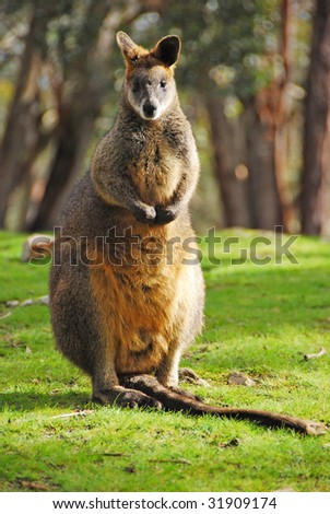 Male Yellow Wallaby Wildlife Park Adelaide Stock Photo 31909174