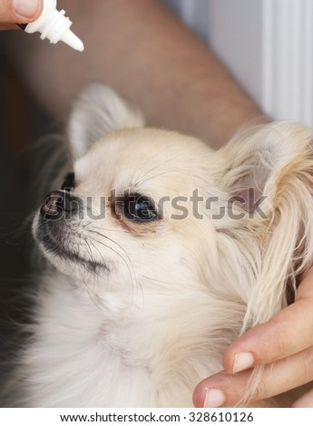 A man applying antibiotic eye drops to a small chihuahua - stock photo
