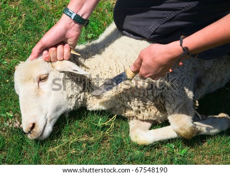 A man kills a sheep for a fact that would make dinner