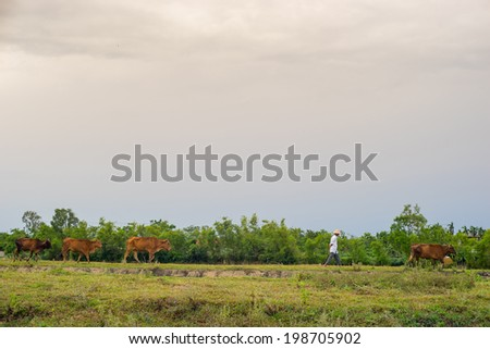 a man leading his cows to the field in Quang Tri province, Vietnam