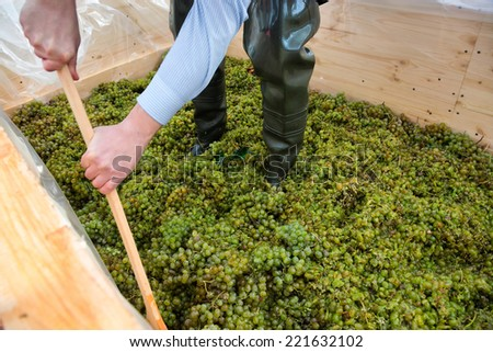 a man pounding grapes in a farm  - stock photo