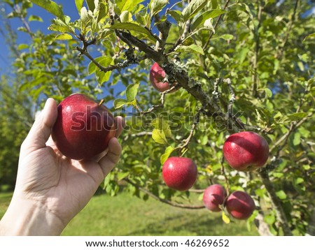 A man's hand grabbing an apple from a tree.