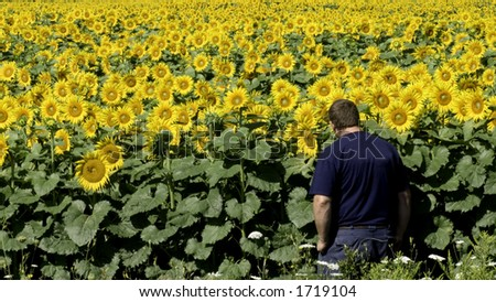 A man stands in front of his 16 acre field of sunflowers. - stock photo